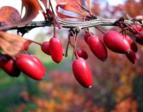 Чим корисні ягоди кизилу і які напої можна приготувати з них фото