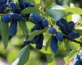 Чим корисні ягоди жимолості і які напої можна приготувати з них фото