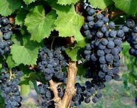 Чим приваблює вино каберне напівсолодке? фото