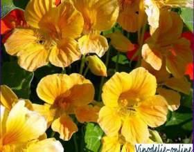 Квіти настурції з червоним вином фото