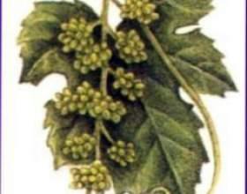 Як посадити виноград фото