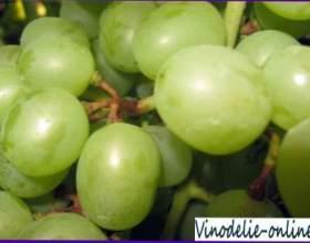 Інфекційні хвороби винограду фото