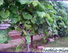 Календар робіт на винограднику фото