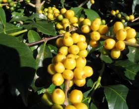 Кава бурбон: напій для справжніх цінителів смаку фото