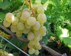 Виноград «надія» фото
