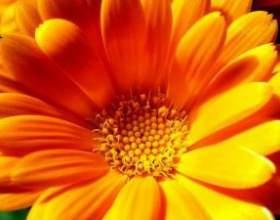 Лікування календулою - просто і ефективно фото