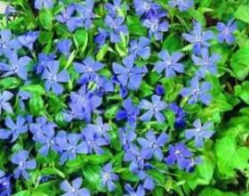 Лікарська рослина барвінок фото