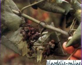 Настоянка на журавлині (рецепт 2) фото