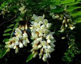 Настоянка квітів білої акації фото