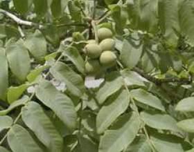 Настоянка маньчжурського горіха на горілці: рецепт, застосування фото