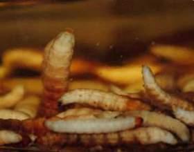 Настоянка вогнівки - панацея від недуг фото