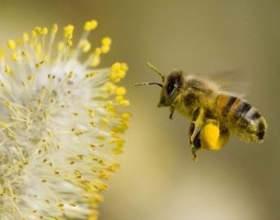 Настоянка бджолиного підмору фото