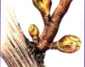 Шинка з петрушкою фото