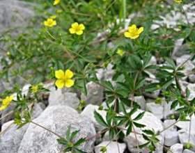 Непоказне, але корисна рослина - перстач прямостоячий фото