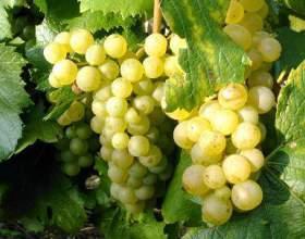 Від чого залежить якість вина фото