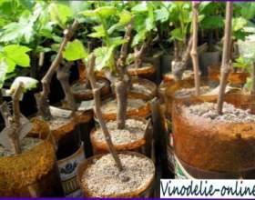 Посадка зелених саджанців винограду фото