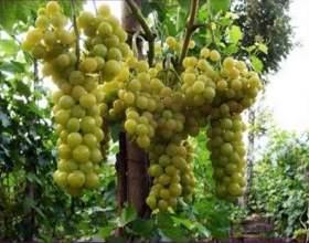 Виноград «болгарія стійкфото
