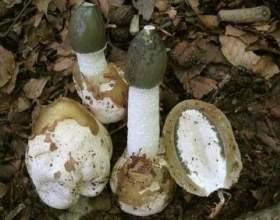 Застосування настоянки гриба веселка фото
