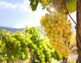 Рецепт вина з винограду кишмиш фото