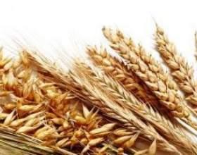 Самогон з пшениці: рецепт фото