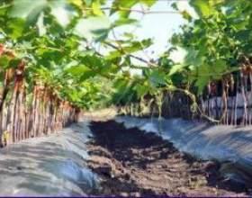 Саджанці винограду фото