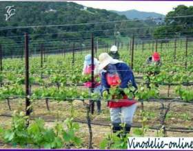 Догляд за молодим вином фото