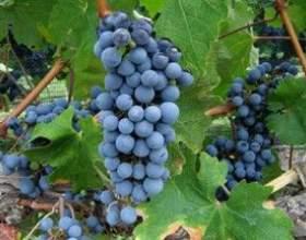 Винні сорти винограду фото