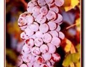 Виноград дністровський рожевий фото