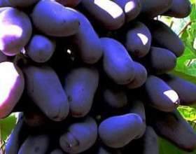 Виноград молдавський чорний фото