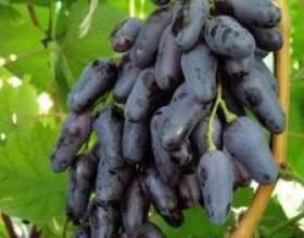 Виноград одеський чорний фото