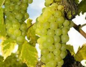 Виноград рислінг фото
