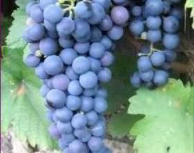 Виноград «сапераві» фото