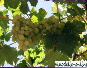 Зелені операції на винограднику фото
