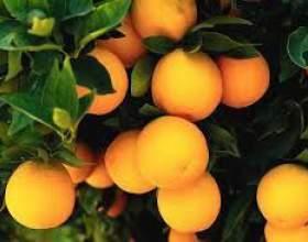 Апельсинова настоянка фото